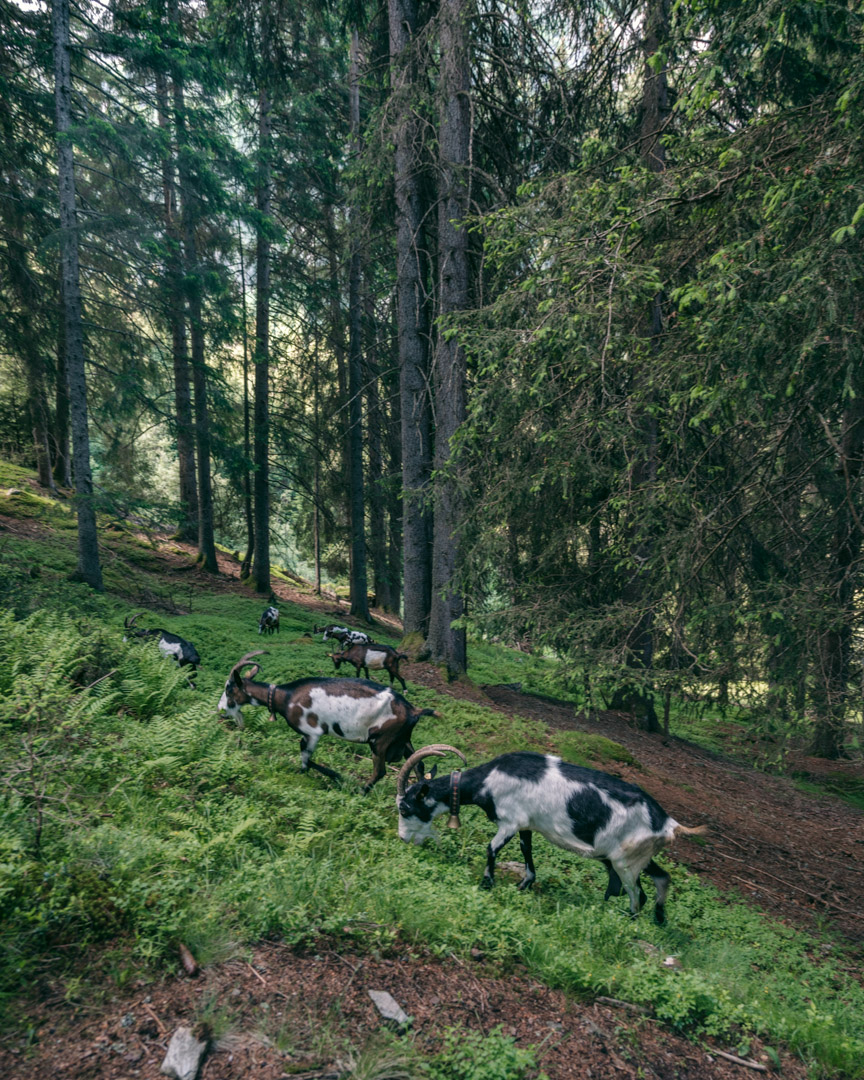 Hiking with goats in the forest
