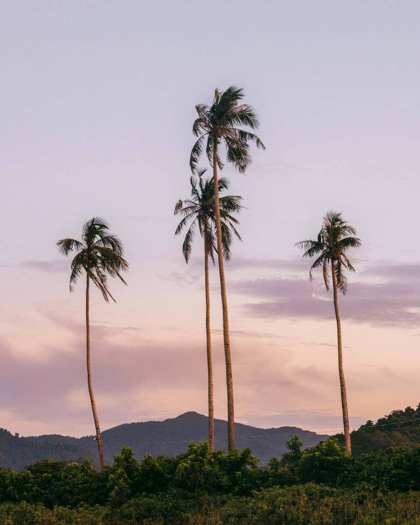 Palm trees in The Philippines